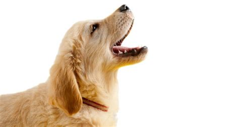 puppy barking golden retriever behavior what s and how to solve behavior problems