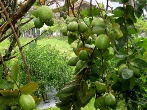 jambu biji ciri ciri tanaman serta khasiat dan manfaat jambu biji situs tanaman obat indonesia