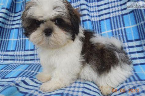 shih tzu wisconsin shih tzu puppy for sale near wausau wisconsin da6de087 0911