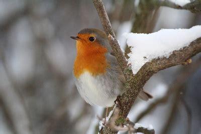 Rotkehlchen Im Winter 4661 by Rotkehlchen V 246 Gel F 252 Ttern Mit Dem Richtigen Vogelfutter