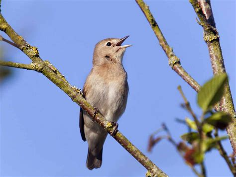 the garden warbler introduction identification saga