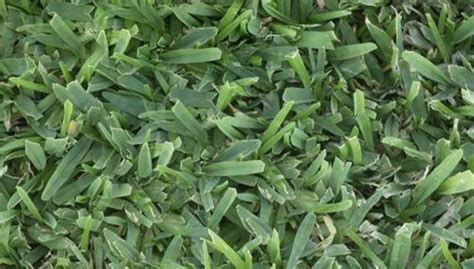 seed  fertilize warm season lawns