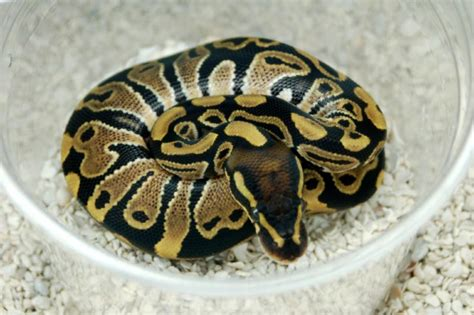 ball python tattoo snake pythons all about snake world snake