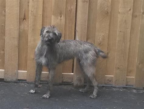 spiky hair dogs spiky hair dogs spiky hair dogs spiky hair dogs lurcher