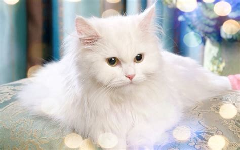 wallpaper kucing bergerak  image collections