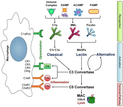 pattern recognition receptors proteins the interaction of macrophages with complement innate