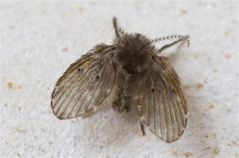 what are the small flies in my bathroom 廁所裡的 小飛蟲 讓你好困擾 牠竟然還會傳染 病毒 簡單 4步驟 讓他徹底消失