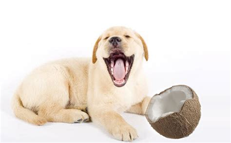 is coconut for dogs 3 health benefits of coconut for dogs labradorretrieverguide