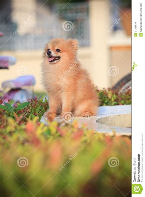 in home sitting pomeranian sitting in home garden stock photo image 27351870
