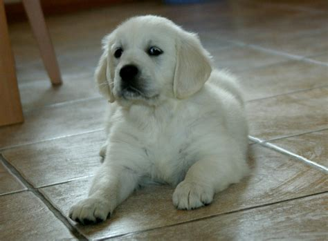 information golden retriever golden retriever pictures and information breed
