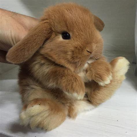 alimentazione conigli nani cucciolo ariete nano fulvo la stalla la stalla dei