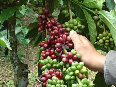 kompetisi kopi jadi daya tarik  bondowoso indoagribiz