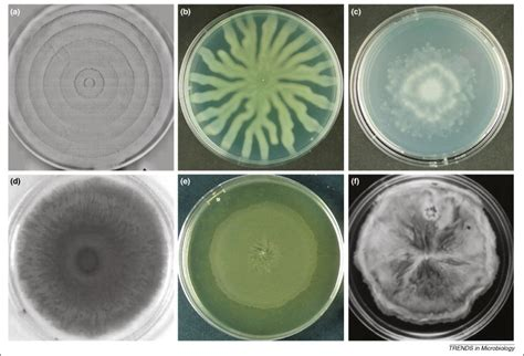 gyrotactic pattern formation of motile microorganisms in turbulence living on a surface swarming and biofilm formation