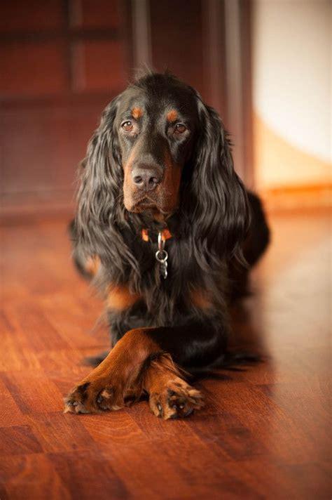 gordon setter therapy dog beautiful gordon setter pets pinterest beautiful