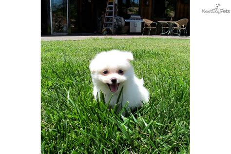 malti pom puppies for sale malti pom maltipom puppy for sale near san diego california 04698677 2c71