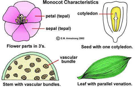 monocot diagram exle of monocot and dicot flower