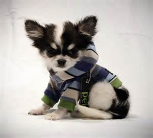 spring chihuahua boy blue stripe dog shirt reserved for enny