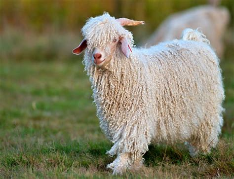 Angora Mohair by Mohair Vs Which One Is Better For You