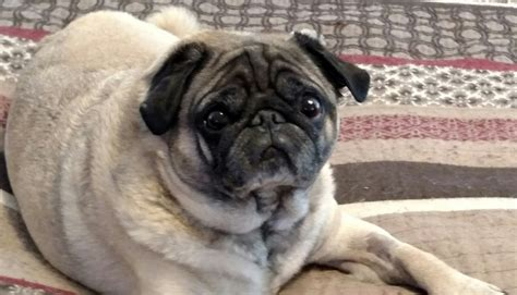 colorado pugs help smash colorado pug rescue