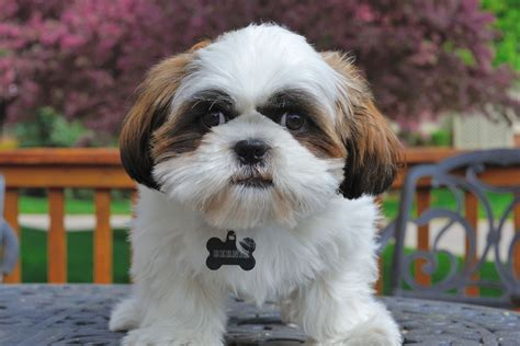 how to your shih tzu how to treat your shih tzu s wounds