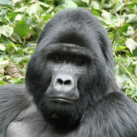 pin  jackie   gorillas chimpanzee mountain