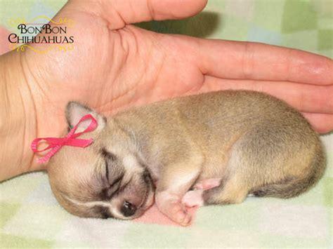 micro mini puppies micro chihuahua bonbon chihuahuas