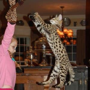 savannah kittens for sale about savannahs savannah savannah cat kittens for sale select exotics