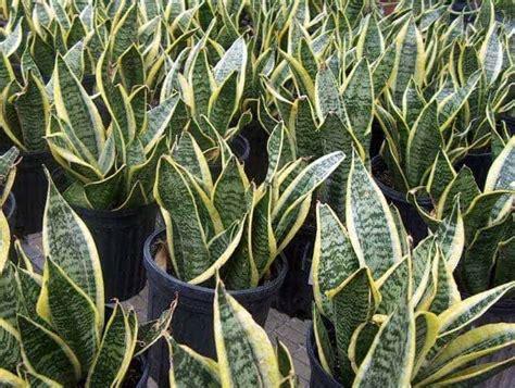 Harga Bibit Seledri Jepang 5 tanaman hias yang menyehatkan bibit