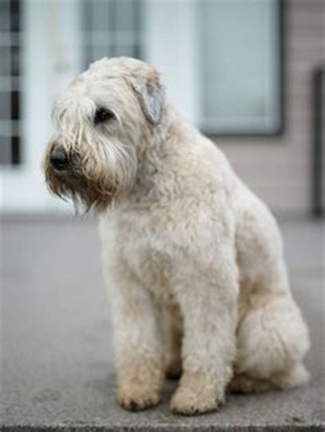 wheaten terrier puppies cost soft coated wheaten terrier on terriers and breeds