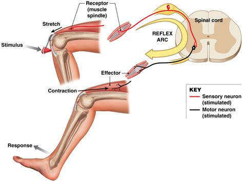 diagram of reflex patellar reflex diagram www pixshark images