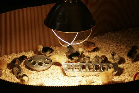 fan that uses to cool can i use a fan to cool the brooder my are