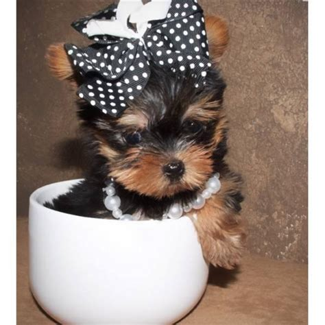 teacup yorkie temperament image gallery teacup chorkies