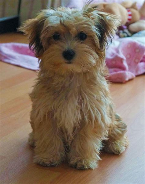 havanese puppies uk adorable breed havanese puppy for sale ely cambridgeshire pets4homes