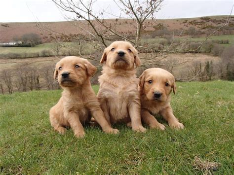 golden retriever puppies for sale swansea gorgeous golden retriever pups for sale swansea swansea pets4homes