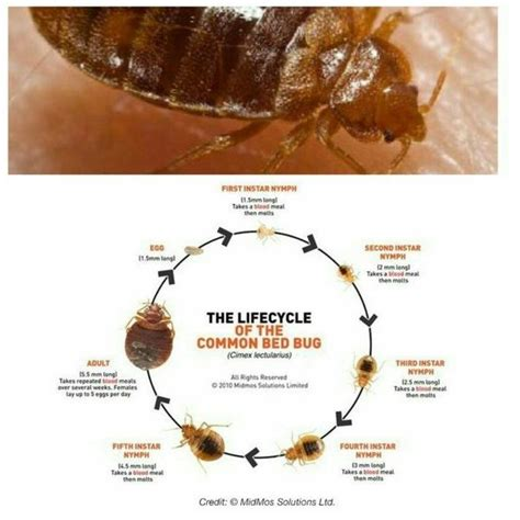 how long does it take bed bug eggs to hatch if bed bug eggs hatch in a vacant home how long can the