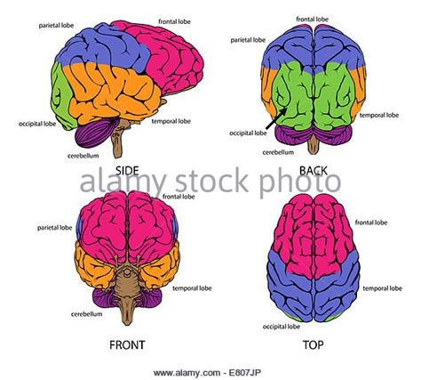 human brain sections brain sections illustration stock photos brain sections