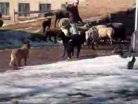 skidboot trailer australian cattle dog herding sheep doovi