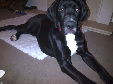 black great dane puppies for sale gorgeous black great dane for sale macclesfield cheshire pets4homes