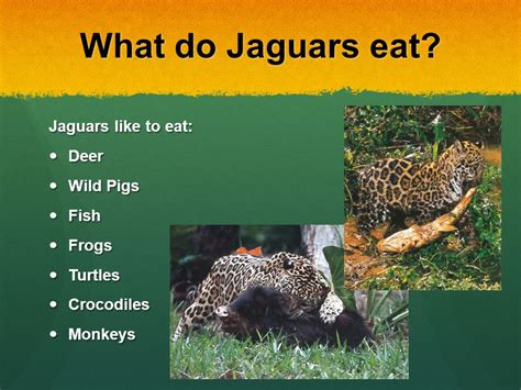 what do jaguars eat in the tropical rainforest jaguars by byrd ppt