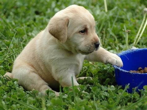 baby lab puppies labrador retrieve lovely baby 1024x768 wallpapers labrador retrieve 1024x768