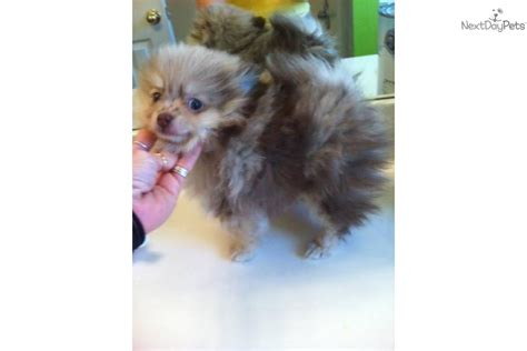 silver pomeranian puppies pomeranian for sale for 1 500 near fayetteville arkansas d80f8b88 fe11