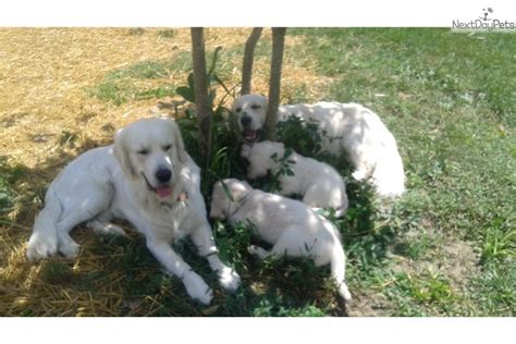 golden retriever puppies indianapolis golden retriever puppy for sale near indianapolis indiana 79871be7 ec31