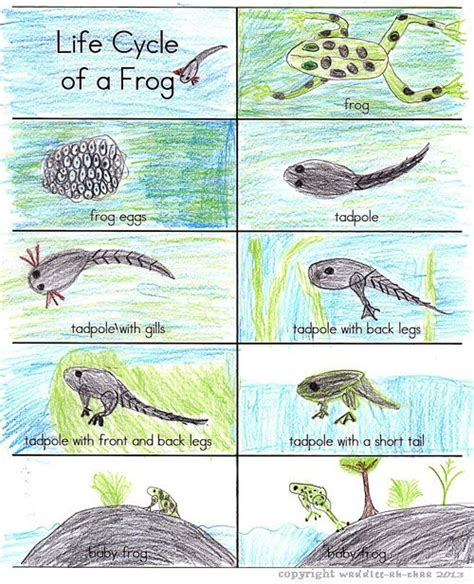 pattern of organization in zoology 161 best images about frog unit study on pinterest