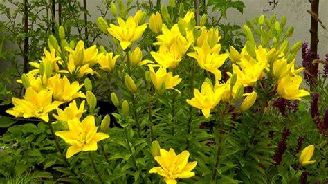 Lilien Im Topf Kaufen 2417 by Lilie Gartennatur