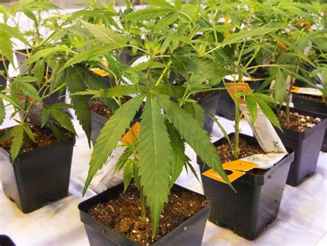 takeover bid cannimed pushes against aurora s takeover bid by seeking