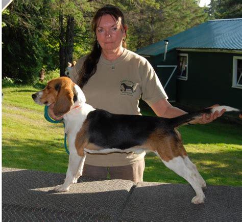 bench beagle barker brook beagles 2008