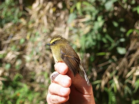 Yellow Belly yellow bellied chat tyrant