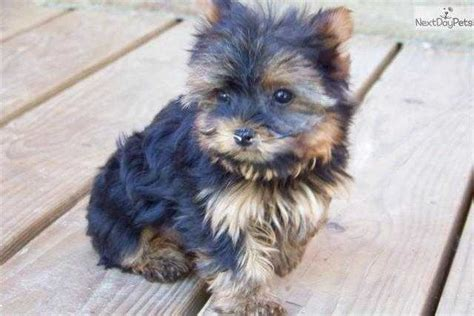 yorkie puppies for sale brisbane adorable tea cup terrier puppies for sale adoption from queensland brisbane