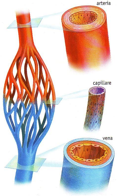 i vasi sanguigni quiz