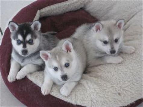 alaskan klee puppies for sale chion alaskan klee puppies for sale